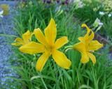 *Flower of daylily named Nutmeg Elf