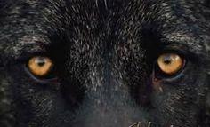 Prentresultaat vir images of amber colored eyes