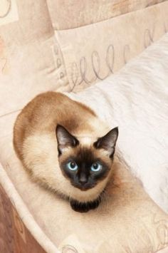 Traditional Siamese Cat~ my favorite type if cat