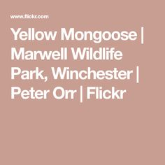 Yellow Mongoose   Marwell Wildlife Park, Winchester   Peter Orr   Flickr Mongoose, Wildlife Park, Winchester, Yellow