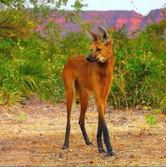 maned wolf. not fox or wolf