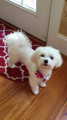 Are we going for a walk now? Maltese Poodle, Teacup Maltese, Teacup Puppies, Maltese Dogs, Dogs And Puppies, Doggies, Maltese Haircut, Poodle Haircut, Baby Animals
