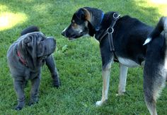 Levi meets his first Shar Pei