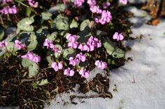 Hardy cyclamen can bloom even when there's still snow on the ground.