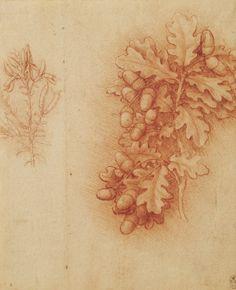 Leonardo da Vinci (Vinci 1452-Amboise 1519) - Oak (Quercus robur) and dyer's greenweed (Genista tinctoria)