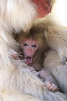 30 Beautiful Examples of Animal Photography - The Wondrous Primates, Nature Animals, Animals And Pets, Wild Animals, Beautiful Creatures, Animals Beautiful, Monkey See Monkey Do, Snow Monkey, Monkey Baby