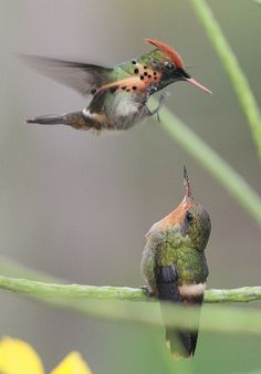 Couple : Tufted Coquette ( Lophornis ornatus ) is a tiny hummingbird that breeds…