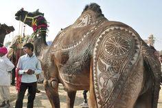 A camel at the 'Camel Haircut' competition at Bikaner, India
