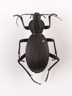 Tefflus meyerlei, ground beetle, dried specimen, West Africa