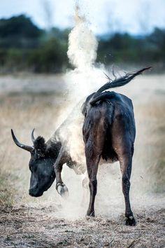 Un #taureau de la #manade.
