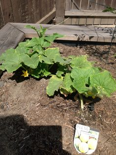 Raised veggie beds planted 4/2 picture taken 5/24. Lemon cucumber is blooming but plant is smaller than the regular cucumber plant.
