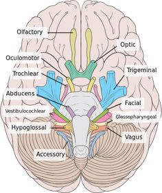 Brain human normal inferior view with labels en-2 - Cranial nerves - Wikipedia, the free encyclopedia