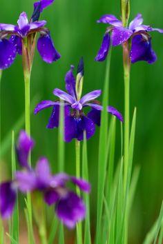 iris #japan