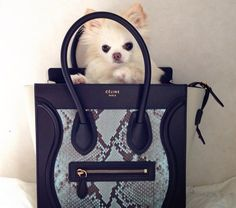 What's in her  Céline Luggage Tote ... a long hair Chi