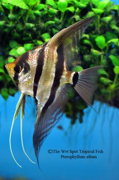 Colorful Fish, Tropical Fish, Freshwater Aquarium, Aquarium Fish, Beautiful Fish, Animals Beautiful, Angel Fish Tank, Types Of Angels, Oscar Fish