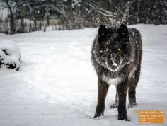 Wolf - Exshaw Albetra, Canada