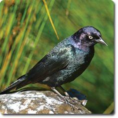 Learn About Your Backyard Birds – Backyard Wild #Bird Directory – Brewer's #Blackbird –