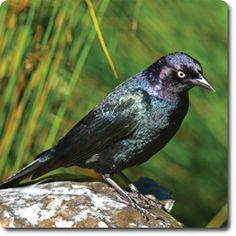 Learn About Your Backyard Birds – Backyard Wild #Bird Directory – Brewer's #Blackbird –