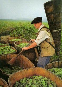 Vendange - viticulteur dans les coteaux d'alsace