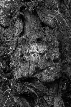Pareidolia Chestnut Tree, Ano Hora