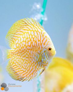 Aquarium Aquascape, Discus Aquarium, Tropical Fish Aquarium, Discus Fish, Aquascaping, Tropical Freshwater Fish, Freshwater Aquarium Fish, Discus Tank, Fish Tank