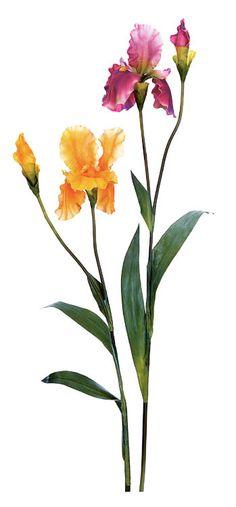 Iris hybrides