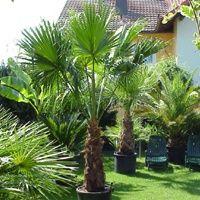 Vijver en Tuincentrum Pelckmans: Livistona chinensis