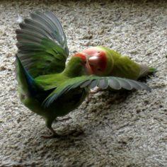 peach faced lovebird feather | Peach-faced Lovebird 1