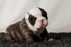 It is most important to purchase a HEALTHY PUPPY who has been raised and socialised properly and is the ideal breed of canine for you and your circums. English Bulldog Breeders, American Bulldog Puppies, Bulldog Puppies For Sale, Dogs And Puppies, English Bulldogs, Doggies, Animals And Pets, Baby Animals, Cute Animals