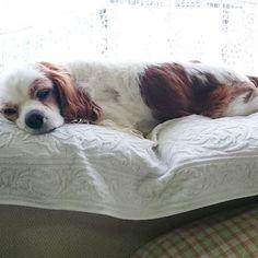 #わんこ #ワンコ #いぬ #犬 #いぬ🐶 #愛犬 #愛犬🐶 # #キャバリア #ブレンハイム #キャバリアキングチャールズスパニエル #キャバリアブレンハイム #cavalierkingcharlesspaniel #cavalier #cavalife #blenheim #dog #mydog #doggy #followme #cute #dog🐶
