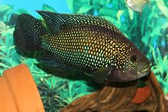 jack dempsey fish | Who owns the largest Jack Dempsey on here?