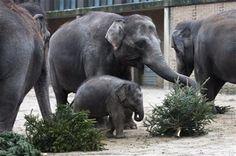 Recycling Christmas Trees. An elephant feast. // Przetwarzanie świątecznych odpadów. Uczta dla słoni