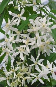 Clematis armandii SNOWDRIFT - Fragrant Evergreen Climbers - Clematis Plants - Climbers and Vines - Garden Plants Clematis Care, Clematis Trellis, Vine Trellis, Purple Clematis, Clematis Flower, Clematis Plants, Flowering Plants, Evergreen Clematis, Zen Gardens