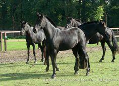 Puruga EB | Menorca Horses