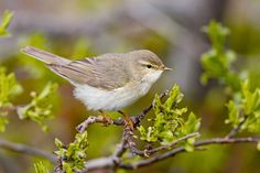 Willow Warbler (Phylloscopus trochilus) temperate Northern Europe and Asia Willow Warbler, Pink Pigeon, British Garden, Bird Watching, Beautiful Birds, Bird Houses, Finland, Natural Beauty, Scenery