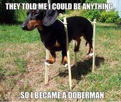 Wiener Dog On Stilts Becomes Doberman