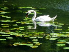Swan in the pond of Stowe Gardens