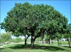 Red Push Pistache is a beautiful deciduous shade tree with stunning red fall color! Beautiful dark green foliage most of the year and a large shade canopy. Evergreen Trees For Privacy, Mastic Tree, Tucson Sunset, Fast Growing Shade Trees, Desert Trees, Valley Nursery, Tree Id, Landscaping Trees, Shade Canopy