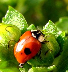 Ladybug by chicalessia