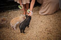 Cute pets at weddings. We love this little pigs! #wedding #pet