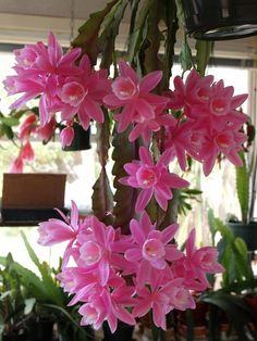 Epiphyllum Cactus. Growing an epiphyllum cactus outside of its native habitat is fairly simple but involves special attention to temperature, lighting, and weather. How to care for it: http://www.wikihow.com/Grow-Epiphyllum-Cactus