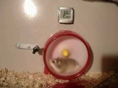 Hamster wheel mishap with Nascar sound effects- I literally cried laughing