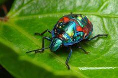 metallic shield bug II  by ~troypiggo