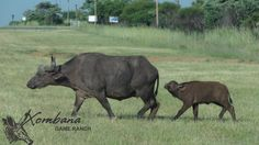 Photo of the Day : TOUCH this image: Buffalo & Calf, DinokengGameReserve by Xombana