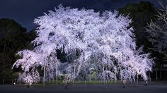 Here are our recommended Tokyo & Kyoto Cherry Blossom Illuminations Evening illuminated petals of white and pinks against the dark sky. Time Out Tokyo, Landscape Design, Garden Design, Metropolis Magazine, Japanese Landscape, Japanese Gardens, Magazine Japan, Ponds Backyard, Dark Skies