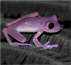 This little frog is called a purple frog also. But I think he is more a lavender frog or maybe a violet frog.Of course he may grow into a big PURPLE frog. Funny Frogs, Cute Frogs, Animals And Pets, Baby Animals, Cute Animals, Beautiful Creatures, Animals Beautiful, Frosch Illustration, Amazing Frog
