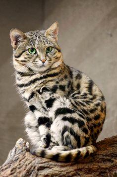 Chat – Domestique – Félin – Fourrure tigrée – Mammifère