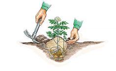 Kartoffeln während des Wachstums immer wieder anhäufeln