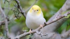 A Wellington photographer out for her daily lockdown walk has captured an extremely rare white tauhou. Rare Birds, Exotic Birds, Beautiful Birds, Animals Beautiful, Yellow Feathers, Kinds Of Birds, Animals Of The World, Bird Species, Wood Art