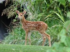 Young deer in the backyard